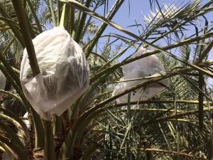 agri palm (1)