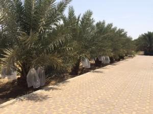 agri palm (11)