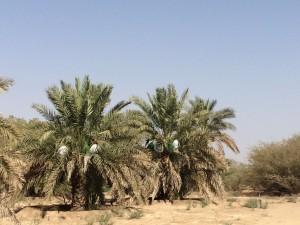 agri palm (15)