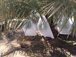 agri palm (21)