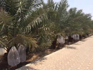 agri palm (22)