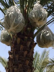 agri palm (4)