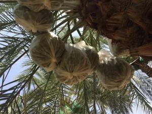 agri palm (7)
