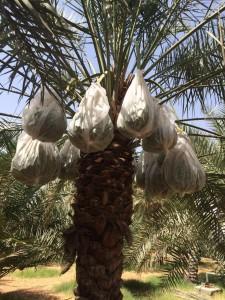 agri palm (8)