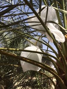 agri palm (9)